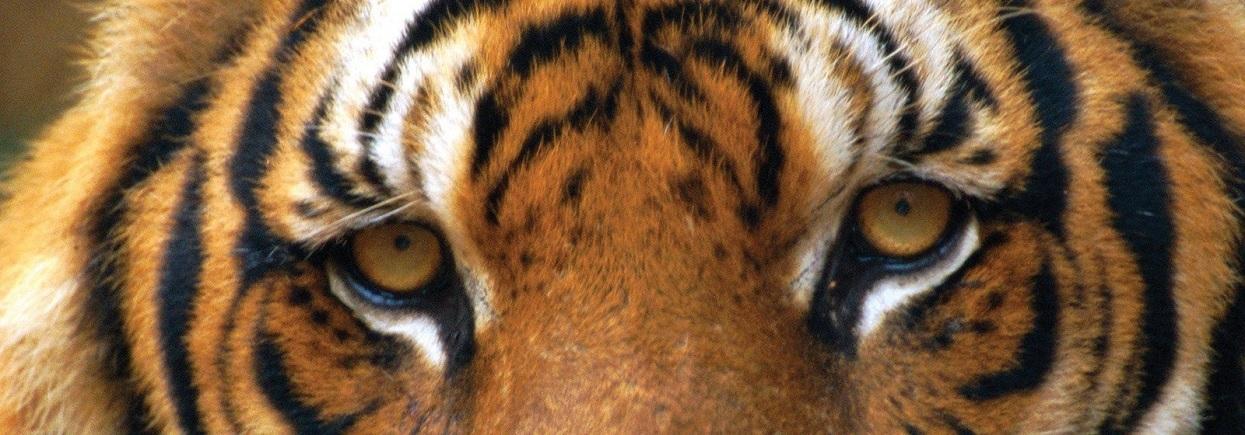 (W185.2.P.2022.UKT22SP) 2 £ United Kingdom 2022 1 oz Proof Ag - Year of Tiger (blog illustration)